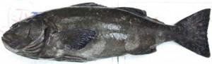 油坊主はこんな魚です!